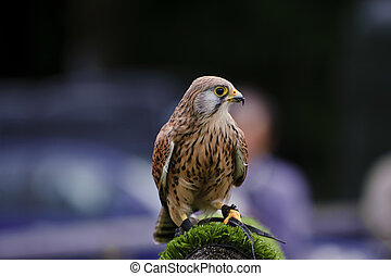 Male kestrel bird of prey raptor during falconry display -...