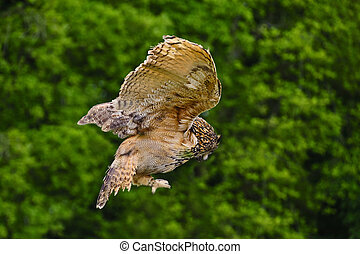 Stunning European eagle owl in flight - Beautiful image of...