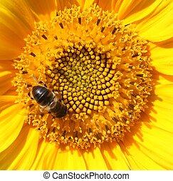 girassol, com, abelha