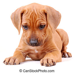 Rhodesian Ridgeback puppy isolated - Portrait of a cute six...