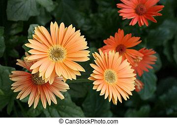 Daisy in a garden