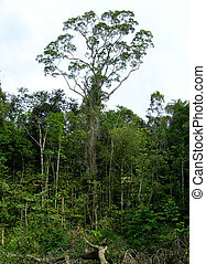 Rain forest in the Amazon - Rain forest trees in the Amazon...