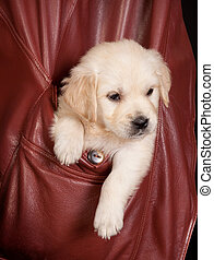 Retriever in a pocket - Six weeks old golden retriever puppy...