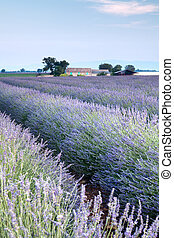Provencal field of lavender - Vieuw on rows of scented...