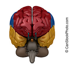 Anterior view of the Brain - Color coded lobes