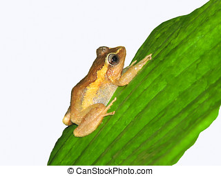 Coqui Frog - Coqui frog on green leaf,Isolated on white...