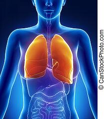 femininas, pulmões, anatomia, anterior, vista