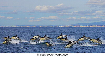 Porpoising - Group of Common dolphins porpoising with the...