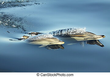 First breath - Mother Common dolphin escorting her calf in...