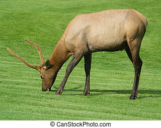 Wapiti on a green meadow in the sun