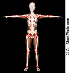 Female skeleton with joints highlighted