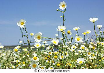 Marguerites field. - Wild Marguerites on field.