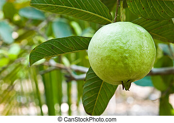 guava on tree in garden