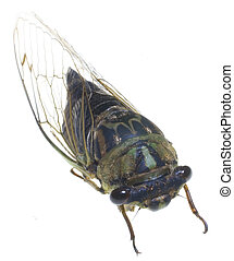 winged bug - cicada that has been photographed on white