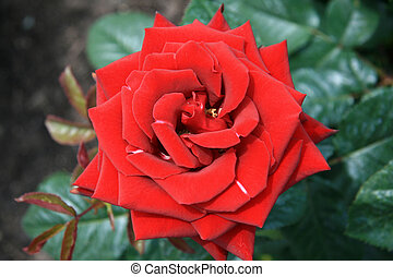 Perfect Red Rose - Butchart Gardens, Victoria, BC, Canada -...