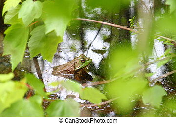 Bullfrog Rana catesbeiana in a wetland of northern Alabama...