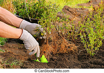 planting a hedge 01