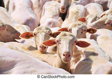 mouton,  37