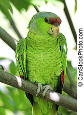 Military green parrot standing on a branch and looking at...