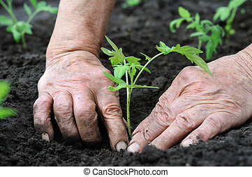 planting a tomatoes seedling - Senior woman planting a...