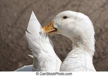 Tell you a secret - White pekin duck looking like it is...
