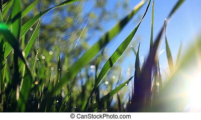 Grass and spider web, covered with morning dew in sun-rays