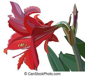 Amaryllis - Illustration of a amaryllis. Stylized drawing.