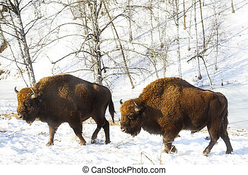 two bisons  - two big bisons in the winter forest