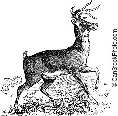 Whitetail or Virginia deer vintage engraving - Whitetail,...