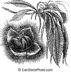 Chestnut vintage engraving - Chestnut or Castanea sp.,...