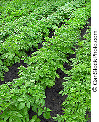 Potato plantation - Organically cultivated plantation of...