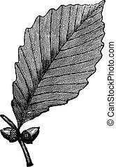 Chestnut Oak vintage engraving
