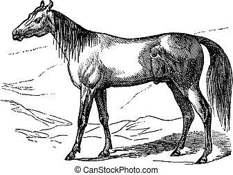 Arabian Horse vintage engraving