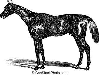 Thoroughbred vintage engraving - Thoroughbred or Equus ferus...