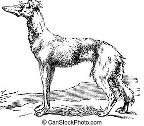 Persian Greyhound vintage engraving - Persian Greyhound or...