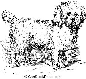 Barbet or Canis lupus familiaris vintage engraving - Barbet...