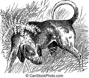 Beagle or Canis lupus familiaris vintage engraving - Beagle...