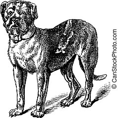 Dogue or Dogue de Bordeaux or Bordeaux Mastiff or French...