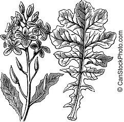 Violet Cabbage or Moricandia sp. vintage engraving - Violet...