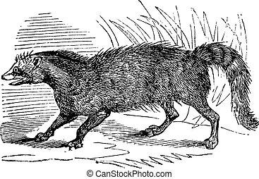 Civet or Viverridae vintage engraving - Civet or Viverridae,...
