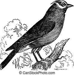 Cedar Waxwing or Bombycilla cedrorum vintage engraving -...
