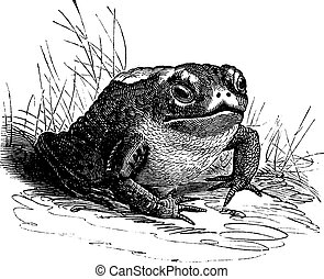 Common Toad or Bufo sp. vintage engraving