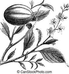 Purging Croton or Croton tiglium, vintage engraving. Old...