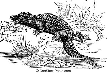 Nile Crocodile or Crocodylus niloticus vintage engraving -...