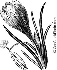 Crocus or Crocus sp vintage engraving - Crocus or Crocus sp,...