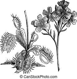 Venus Flytrap or Dionaea muscipula, vintage engraving Old...