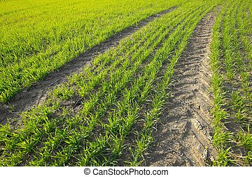 Field - Agricultural field with rows of green plants