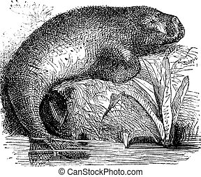 Sea Cow or Dugong or Dugong dugon, vintage engraving. Old...