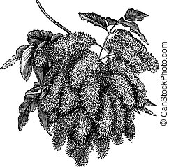 Fraxinus ornus or Flowering Ash vintage engraving - Fraxinus...