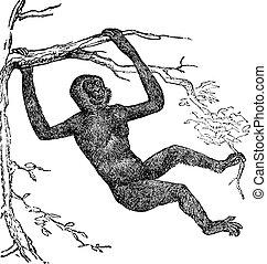 Gibbon Hylobate vintage engraving - Gibbon Hylobate, vintage...